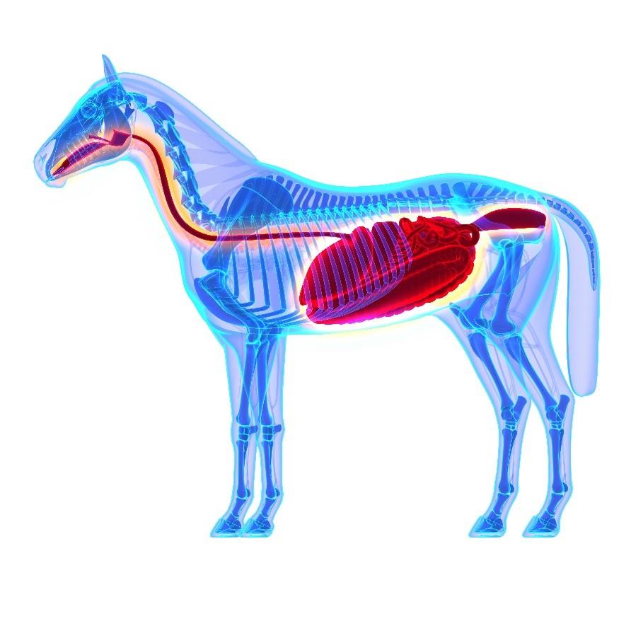 Understanding the horse's gut diagram